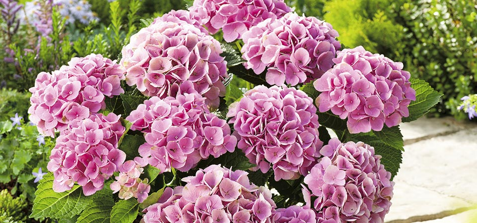 Hortensias figueplant - Plantas exterior mucho sol ...