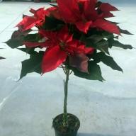 Poinsettia_Copa_M15